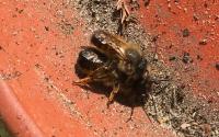 Bild rote Mauerbiene, Christina Z